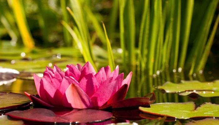 Las 5 plantas acuáticas más comunes y fáciles de sembrar en el hogar