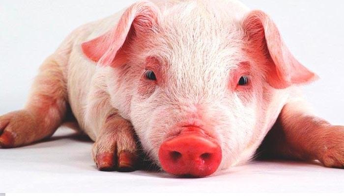 Las 5 razas de cerdos más empleadas en la porcicultura.