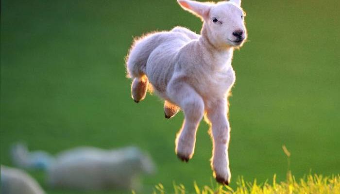 Las mejores razas de ovejas para diversos sistemas de producción.