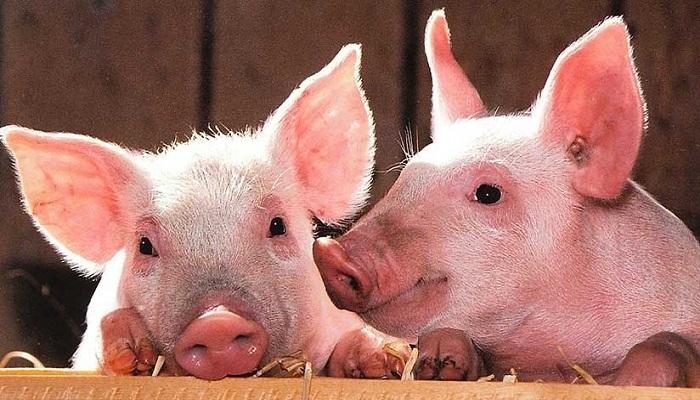 Cerdos Yorkshire: 9 razones para tenerlos en tu corral