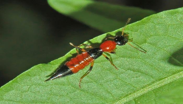 Coleóptero Staphylinidae