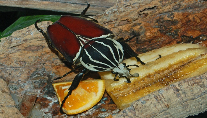 Escarabajo rojo alimentándose