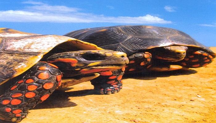 Morrocoy de Tierra: 6 Datos extraordinarios y características impresionantes