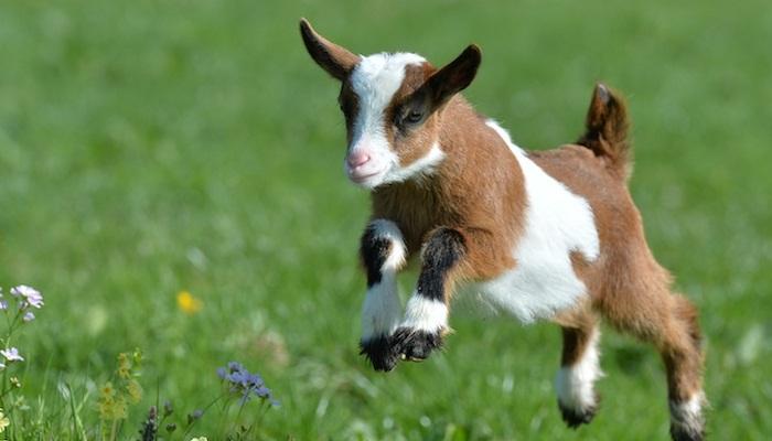 Las mejores razas de ganado caprino para la producción de carne y leche.