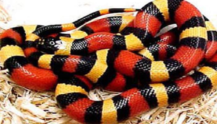 10 Curiosidades muy interesantes acerca de la serpiente coral.