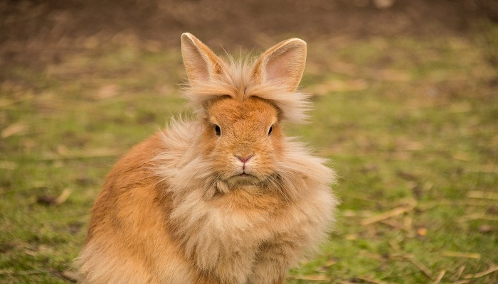 ¡Conejo Cabeza de León! – 5 datos que necesitas saber