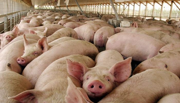 4 Enfermedades de Cerdos más «Perjudiciales» y sus Tratamientos