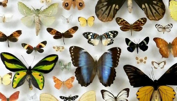 «Características de las Mariposas» y su estructura anatómica