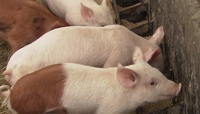 ✔ Alimentación para Cerdos por Etapas – Importancia y Rendimiento Productivo