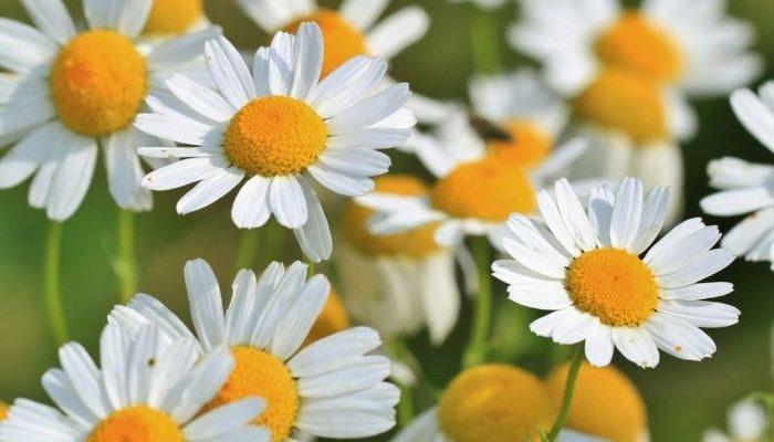 «Características de la Manzanilla» – Flores Milagrosas para la salud humana