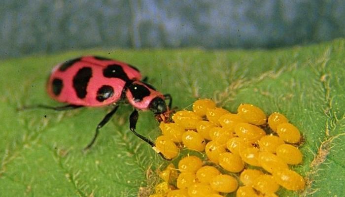 Mariquita rosada