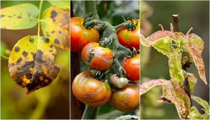 La Fitopatología ⇨ La ciencia que estudia las «enfermedades de las plantas»