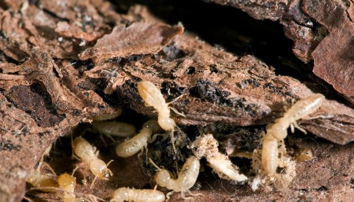 5 Insectos que Comen Madera – Bichos de la Madera más Comunes