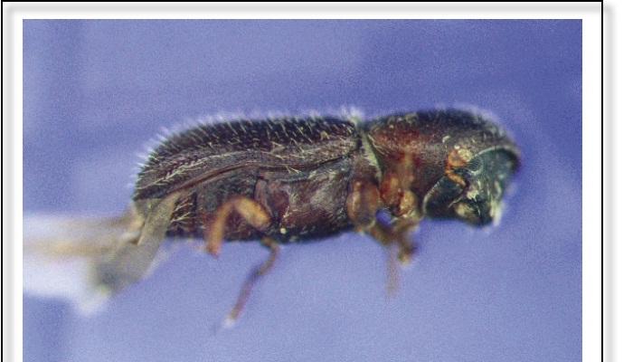 Escarabajo de ambrosía