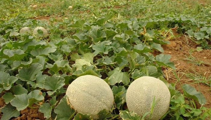 «Plantas Rastreras» ✔ 6 Tips para la Producción de Melón y Sandía