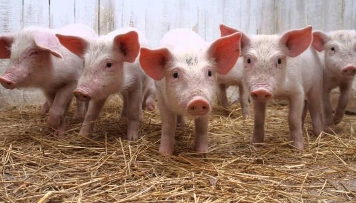 CERDOS de ENGORDE ▷ Manejo de una granja porcina y Nutrición de cerdos