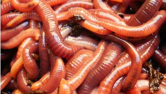✓ La lombricultura ⇨ Transforma Desechos Orgánicos en Fertilizante