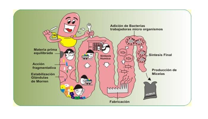 Anatomía de una lombriz