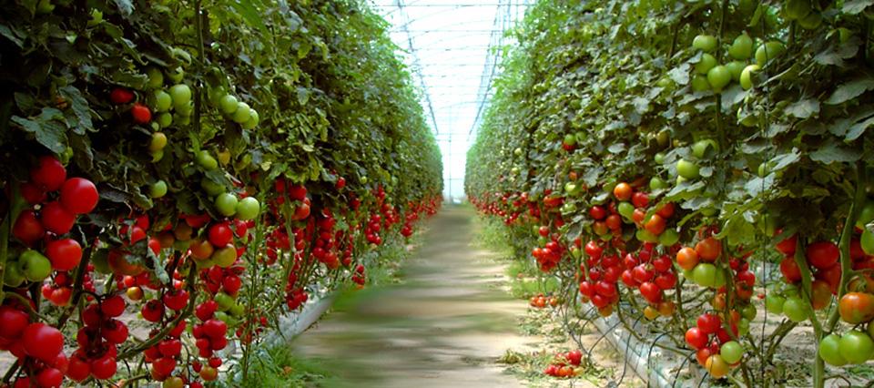 8 Factores para tener éxito en la  ⚡  Producción de Tomate Bajo Invernadero