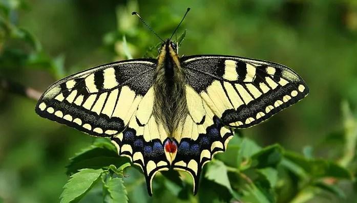 mariposa diurna