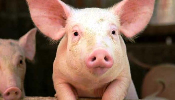 Alimentos utilizados para cerdos de engorde 🐷 Nutrición y requerimientos