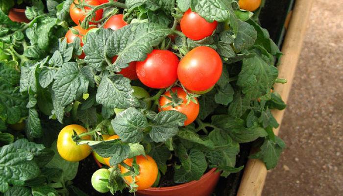 Cómo sembrar semillas de tomate