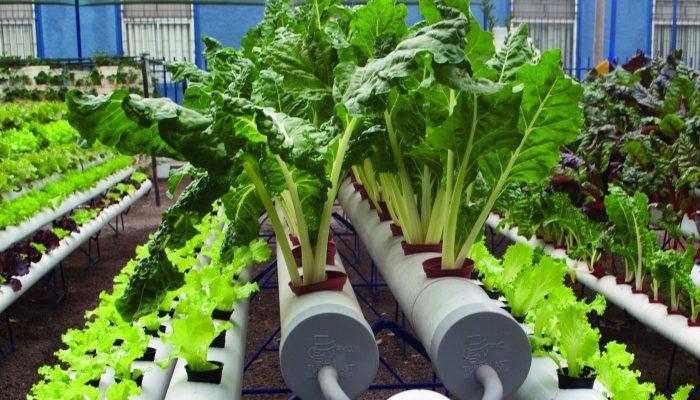 cultivo con sistema de hidroponía