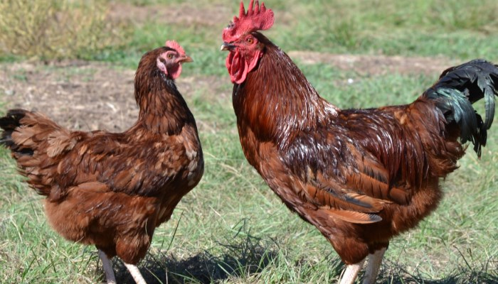 ✅  La Gallina Rhode Island ⇨ Una Alternativa a la Avicultura Moderna