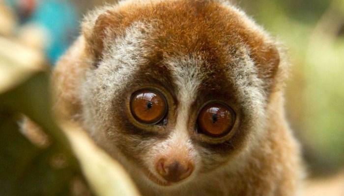 Animal más bonito y tierno del mundo - El Suricato