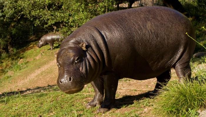 El Hipopótamo Pigmeo - Animal más bonito del mundo