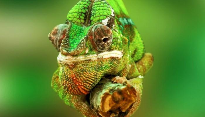 El Camaleón más bonito del mundo