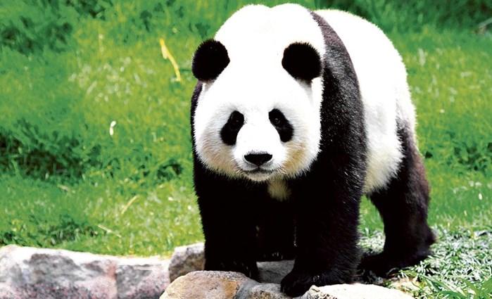 El Panda Gigante - Animal más bonito del mundo