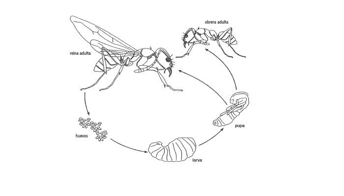Características esenciales del Orden Hymenoptera