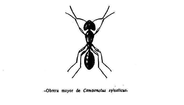 Hormiga Camponotus sylvaticus de España
