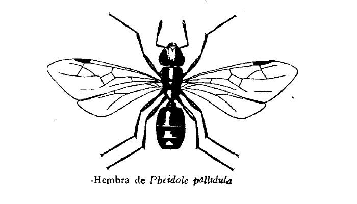 Hormiga Pheidole pallidula de España