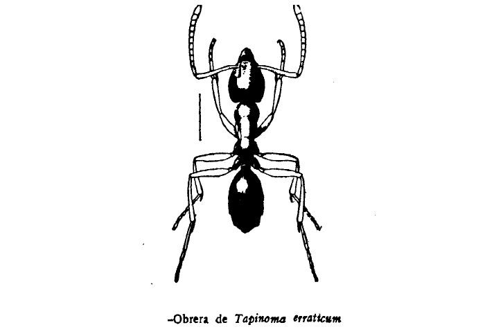 Hormiga plaga Tapinoma erraticum