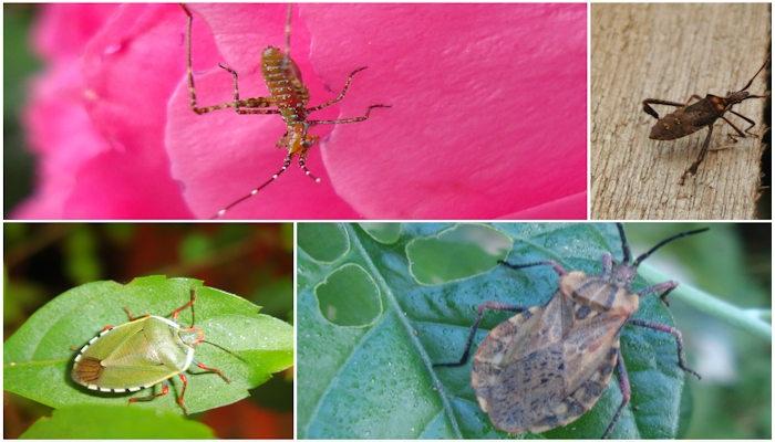 7 Bichos parecidos a los CHINCHES que son Plagas en algunos Cultivos