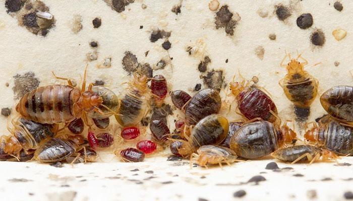 CHINCHE COMÚN ▷ 10 curiosidades sobre este insecto-plaga