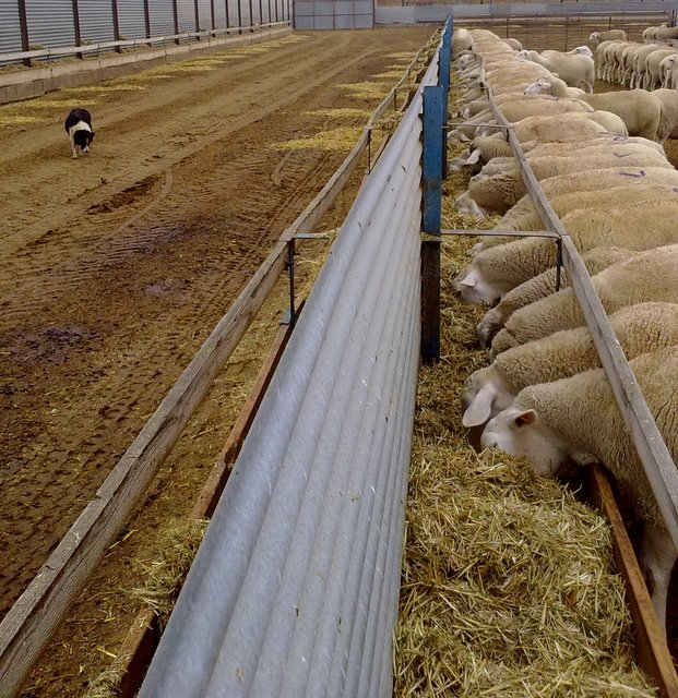 Comedero de 1 Metro para Ganado ovino FINCA CASAREJO Comedero para ovejas con Patas