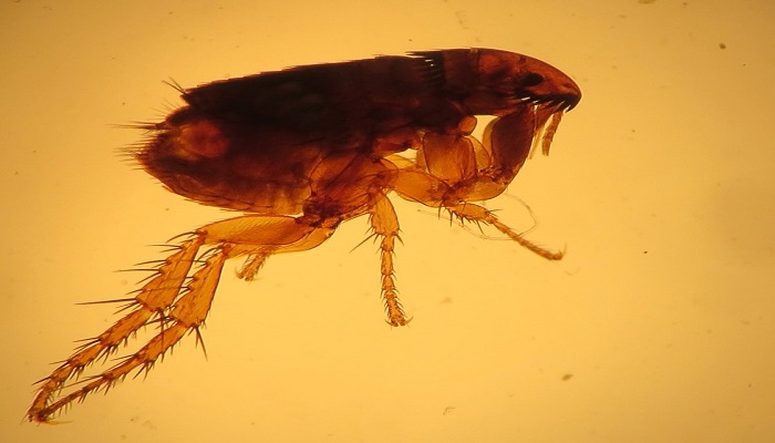 pulga del gato