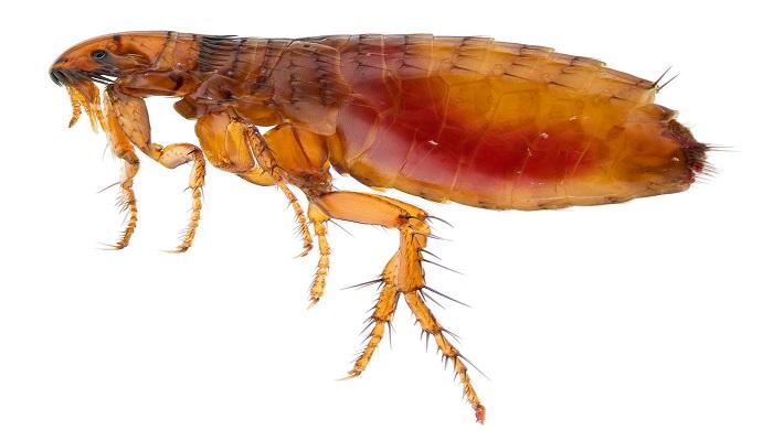 pulga del humano
