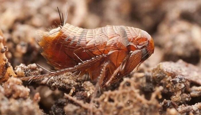 3 Tipos de pulgas ✅ Características y Recomendaciones para erradicarlas