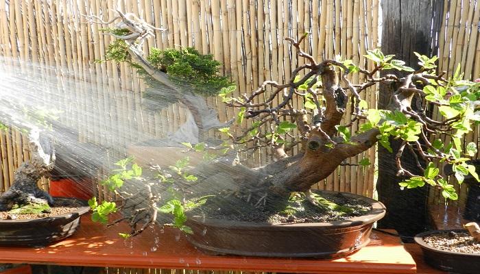riego de bonsai