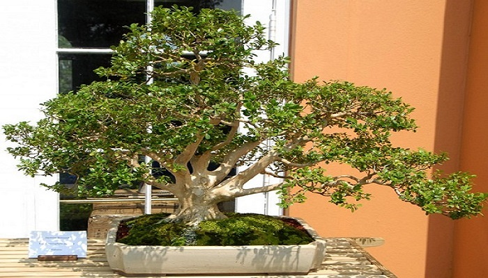 abono orgánico para bonsai