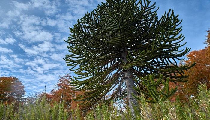 árbol araucaria