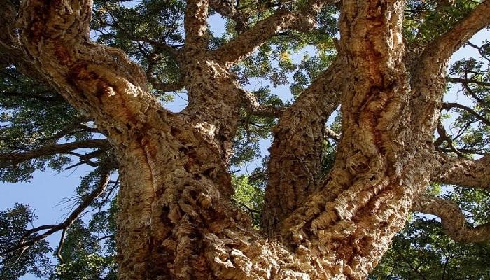 árbol el corcho
