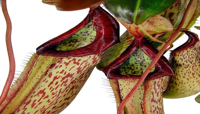 planta de jarra verde