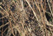Plantas en peligro de extinción en España
