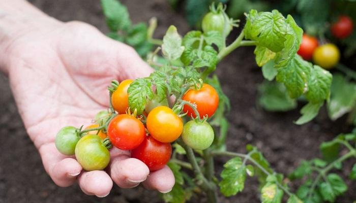 ▷  Riego por Goteo para Tomates ◁ 5 Pasos sencillos y prácticos para instalarlo