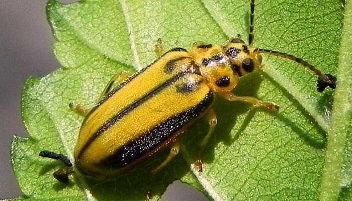 escarabajo galeruca